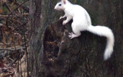 Brevard's White Squirrels' Distinctive Pattern!