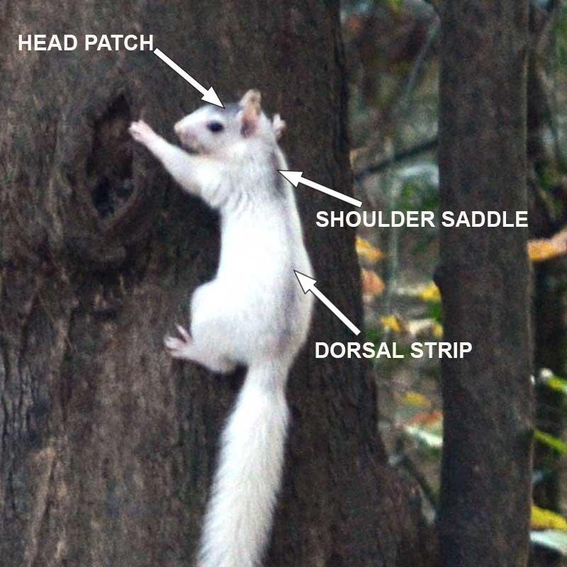 white squirrel brevard nc
