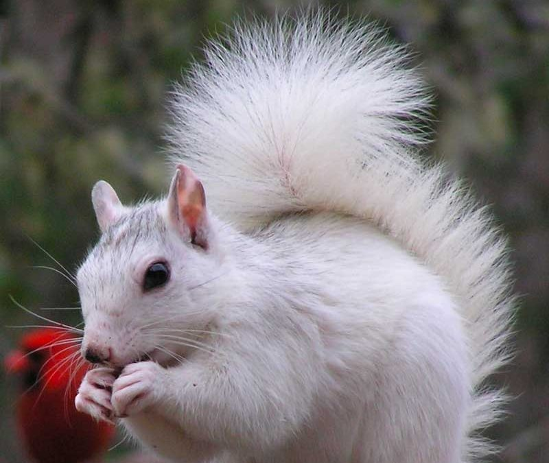 white squirrel brevard