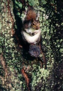 gray squirrel in brevard nc