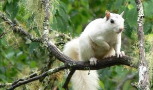 white squirrel brevard nc