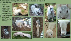 white squirrel pictures