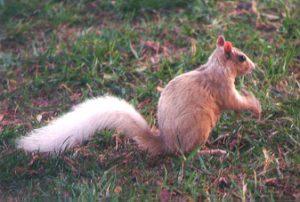 tan squirrel