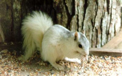 White Squirrel Research