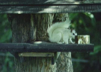 brevard white squirrel