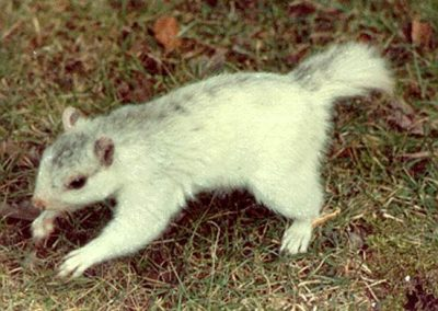 white squirrel cash
