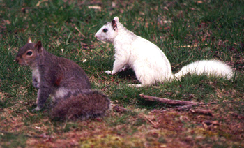 white squirrel and gray squirrels