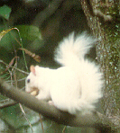 white squirrel in tree with back to camera