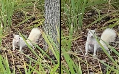 White Squirrel spotted in Sarasota, Florida