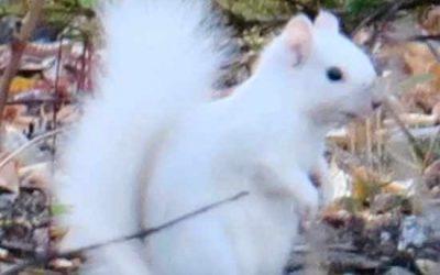 White Squirrel seen in the Yukon