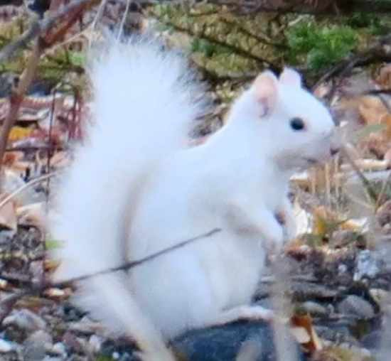 White Squirrel seen in the Yukon